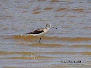 Common Greenshank Akhna Dam 24th June 2014 (c) Cyprus Birding Tours