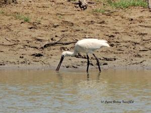 Eurasian Spoonbill Akhna Dam 24th June 2014  (c) Cyprus Birding Tours