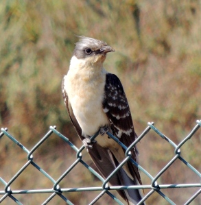 Great Spotted Cuckoo 17th June 2014 (c) Cyprus Birding Tours