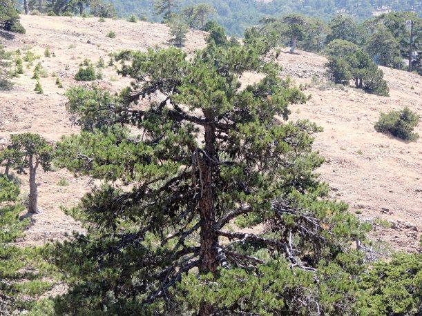 Black Pine Troodos 11th July 2014 (c) Cyprus Birding Tours