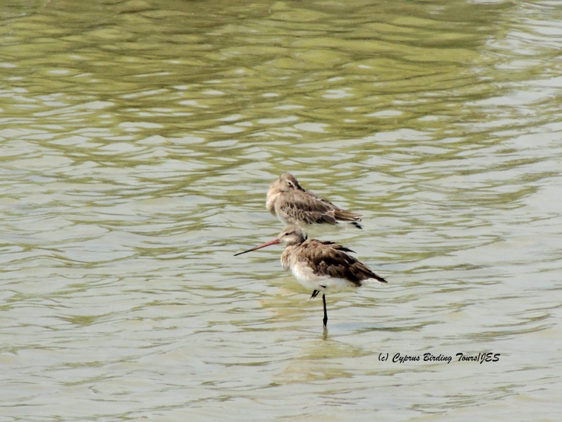 Black-tailed Godwit Oroklini July 2nd 2014  (c) Cyprus Birding Tours