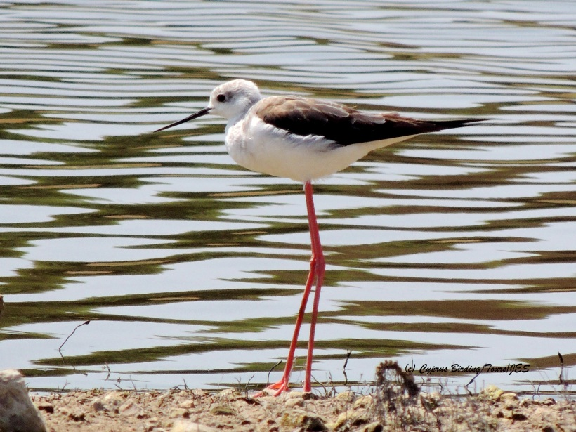 Black-winged Stilt Akhna Dam 15th July 2014 (c) Cyprus Birding Tours