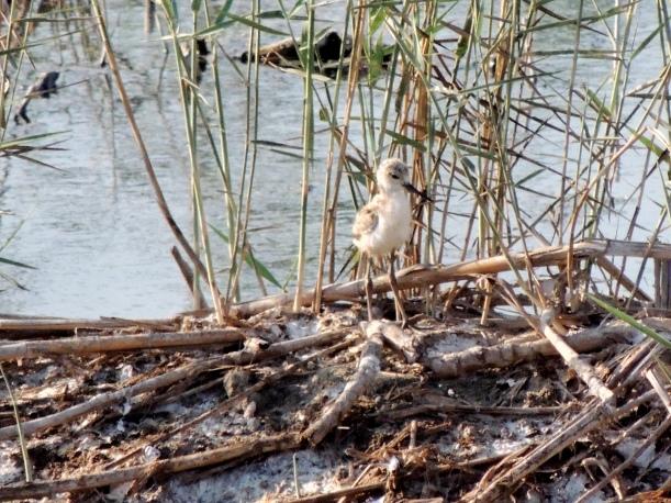 Black-winged Stilt chick Zakaki Marsh 3rd July 2014 (c) Cyprus Birding Tours