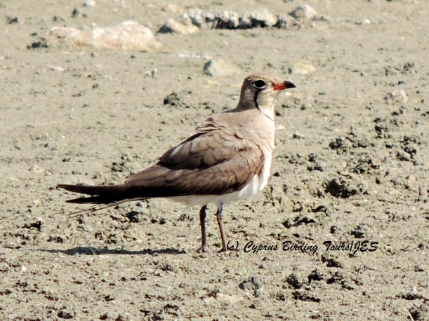 Collared Pratincole  Akhna Dam 8th July 2014 (c) Cyprus Birding Tours
