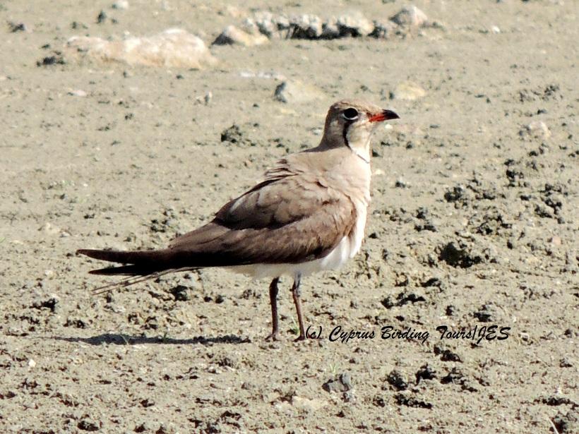 Collared Pratincole  Akhna Dam 8th July 2014 (c) Cyprus Birding Tours