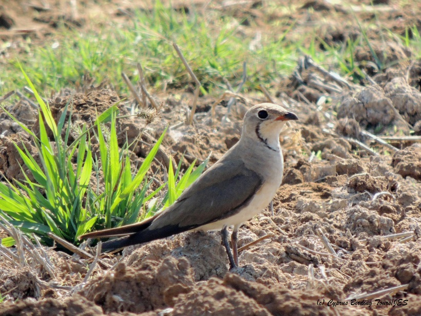 Collared Pratincole Larnaca Desalination Plant fields 23rd July 2014  (c) Cyprus Birding Tours