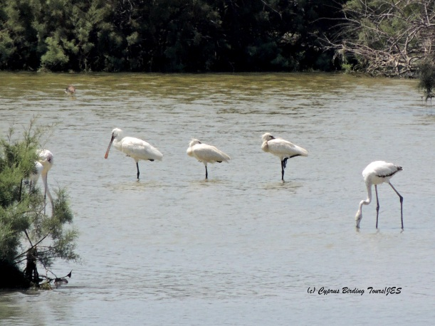 Eurasian Spoonbill Oroklini Marsh 15th July 2014  (c) Cyprus Birding Tours