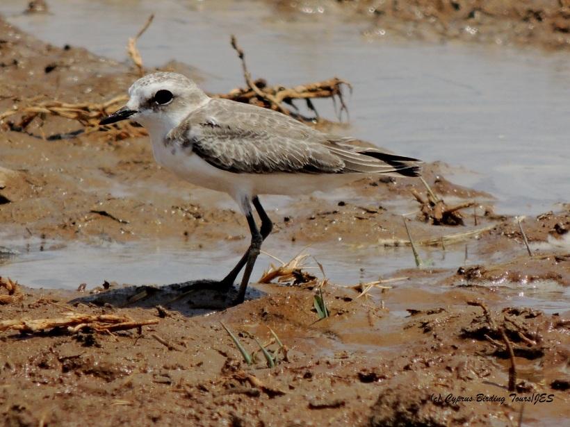 Kentish Plover juvenile Larnaca Desal Fields 21st July 2014 (c) Cyprus Birding Tours