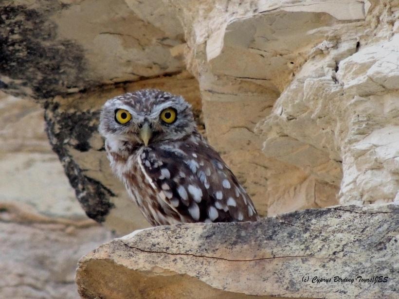 Little Owl Panagia Stazousa 21st July 2014  (c) Cyprus Birding Tours
