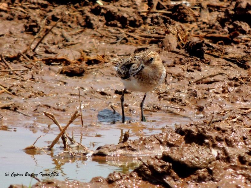Little Stint Larnaca Desal Fields 21st July 2014 (c) Cyprus Birding Tours
