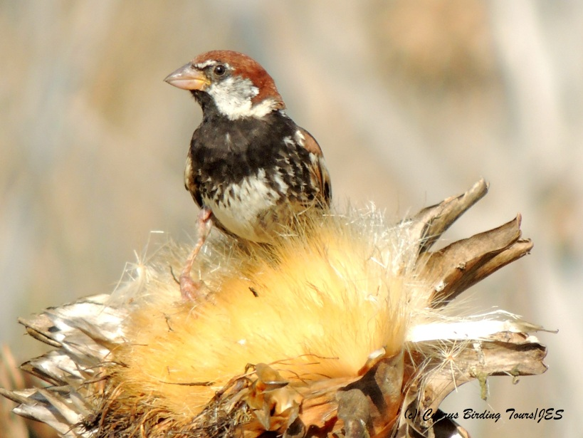 Spanish Sparrow, Pervolia, 23rd July 2014, (c) Cyprus Birding Tours