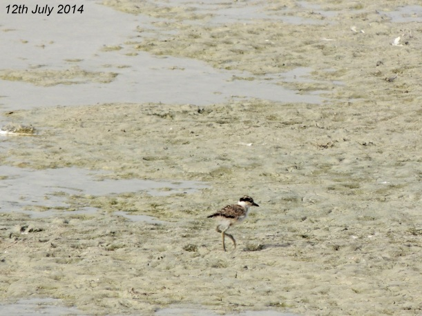 Spur-winged Lapwing Chick Oroklini Marsh 12th  July 2014 (c) Cyprus Birding Tours