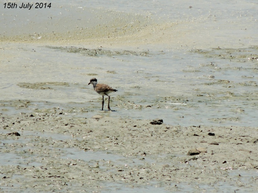 Spur-winged Lapwing Chick Oroklini Marsh 15th  July 2014 (c) Cyprus Birding Tours