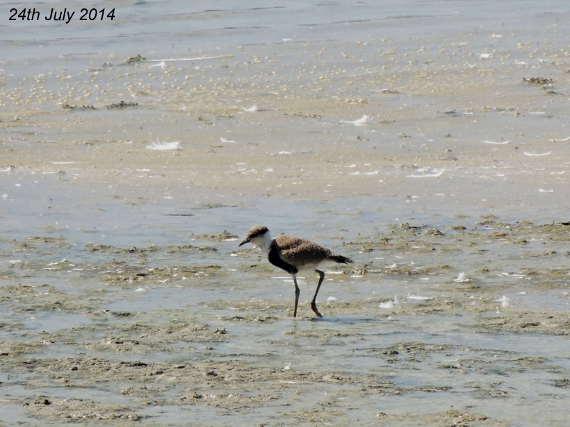 Spur-winged Lapwing Chick Oroklini Marsh 24th  July 2014 (c) Cyprus Birding Tours