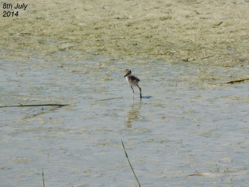 Spur-winged Lapwing Chick Oroklini Marsh 8th July 2014 (c) Cyprus Birding Tours