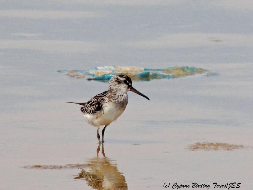 Broad-billed Sandpiper, Zakaki Marsh 30th August 2014 (c) Cyprus Birding Tours