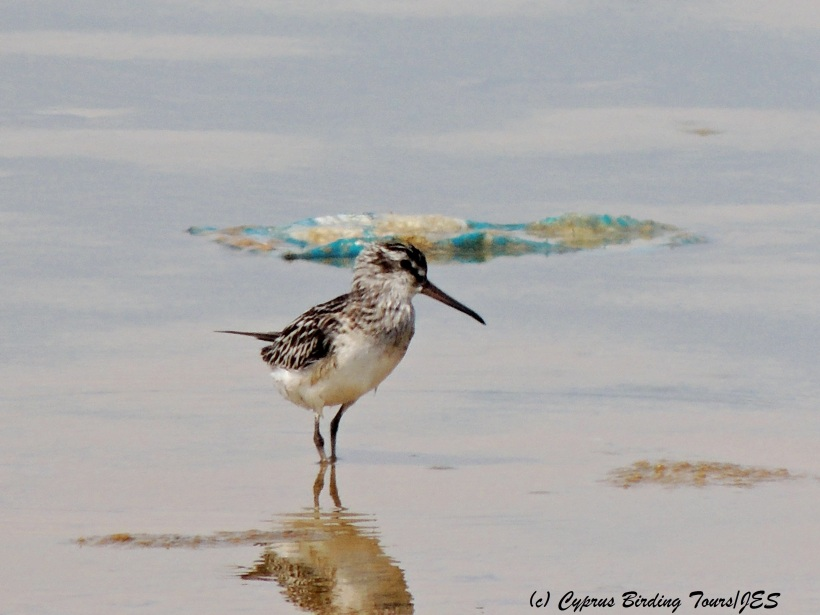 Broad-billed Sandpiper, Zakaki Marsh 30th August 2014 (c) Cyprus Birding Tours