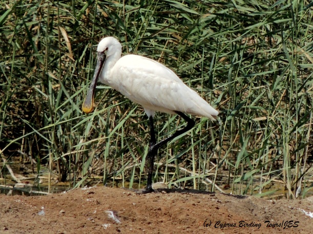 Eurasian Spoonbill, Zakaki Marsh, 30th August 2014 (c) Cyprus Birding Tours