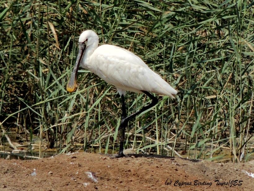 Eurasian Spoonbill, Zakaki Marsh, 30th August 2014 (c) Cyprus Birding Tours