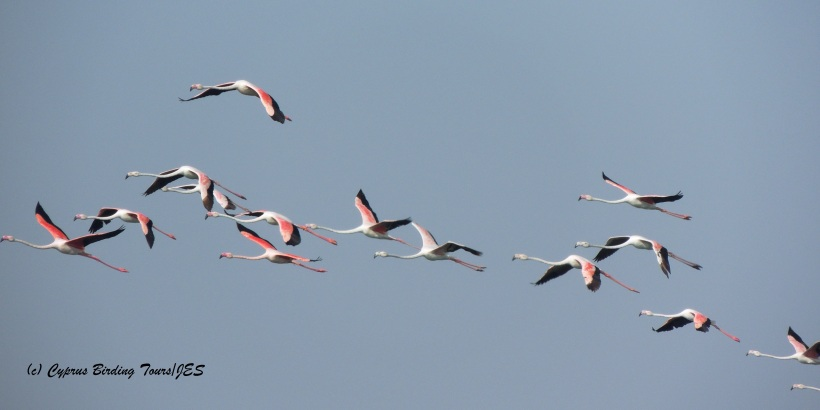 Greater Flamingo Larnaca Sewage Works 10th August 2014 (c) Cyprus Birding Tours