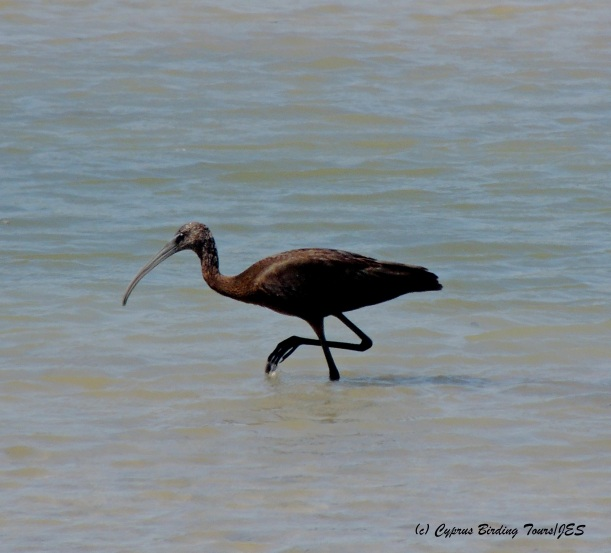 Glossy Ibis, Zakaki Marsh 8th September 2014 (c) Cyprus Birding Tours