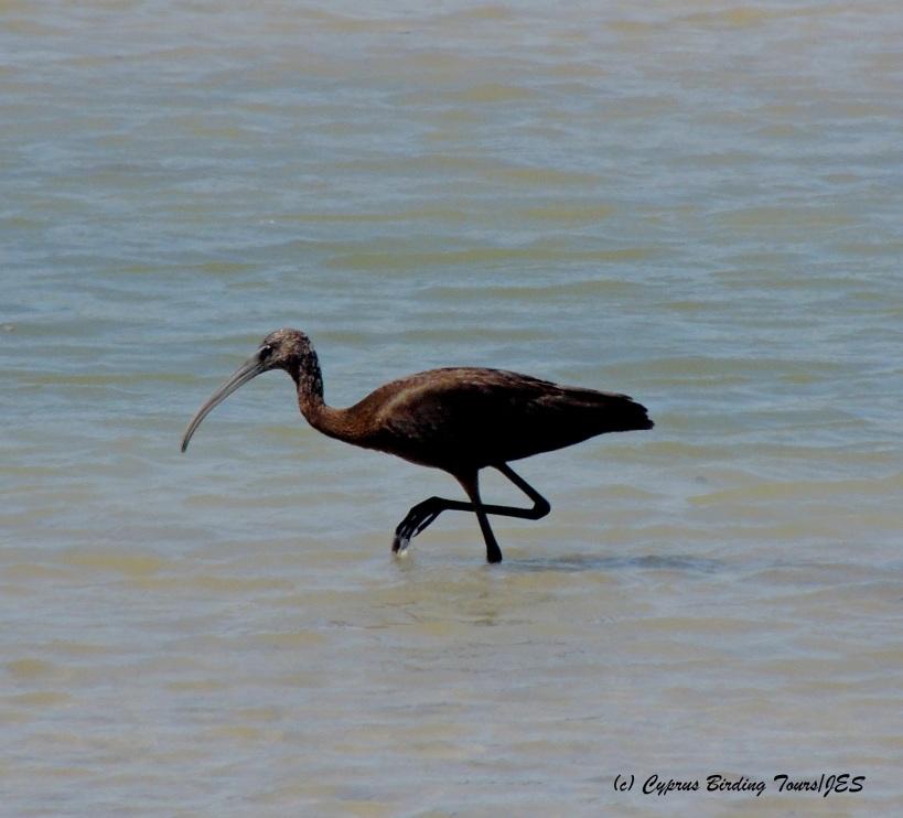 Glossy Ibis, Zakaki Marsh 8th September 2014 (c) Cyprus Birding Tours