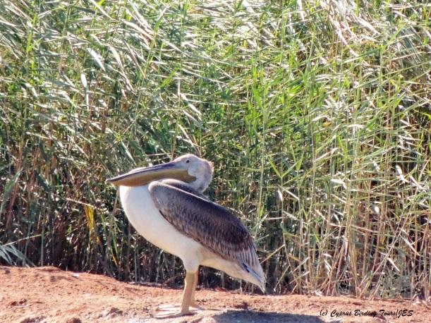 Great White Pelican, Zakaki Marsh, September 25th 2014 (c) Cyprus Birding Tours