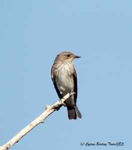Spotted Flycatcher Agia Napa Sewage Works 3rd September 2014 (c) Cyprus Birding Tours
