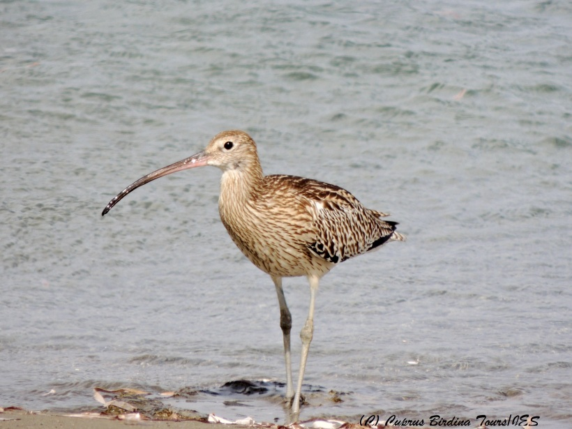 Eurasian Curlew, Spiros Beach, 17th October 2014 (c) Cyprus Birding Tours