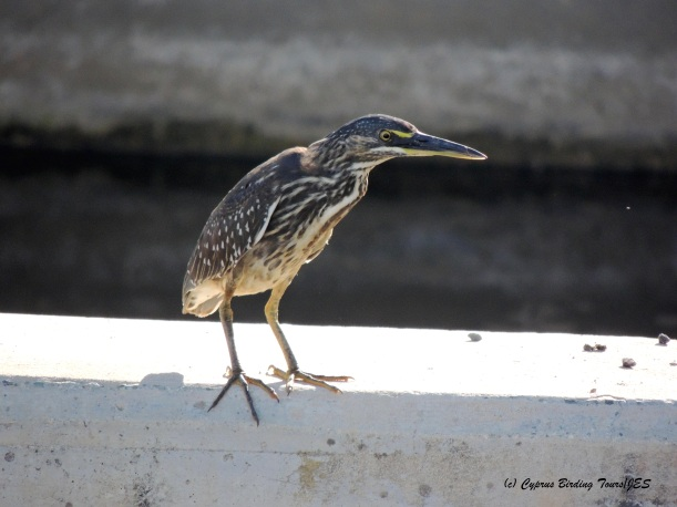 Striated Heron, Zakaki 27th October 2014 (c) Cyprus Birding Tours