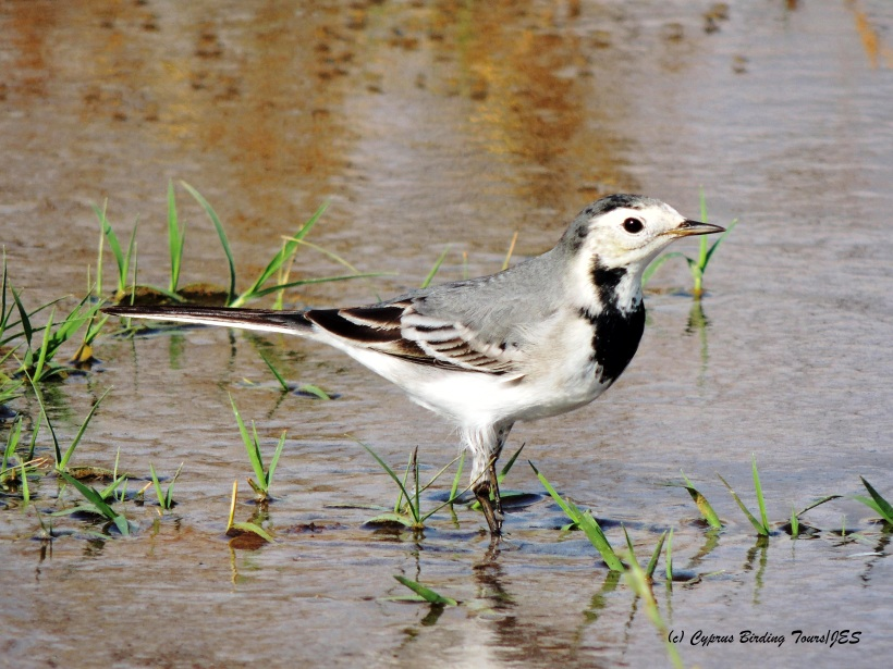 White Wagtail, Spiros Pool 27th October 2014 (c) Cyprus Birding Tours