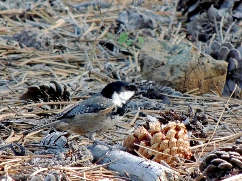 Coal Tit, endemic sub-species, Troodos 9th November (c) Cyprus Birding Tours
