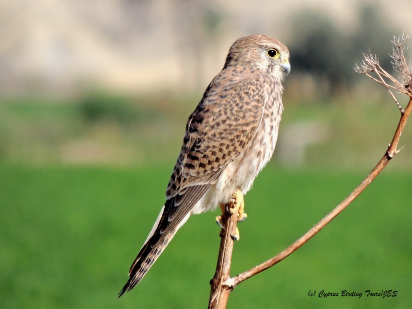 Common Kestrel, Agios Sozomenos, November 7th 2014 (c) Cyprus Birding Tours