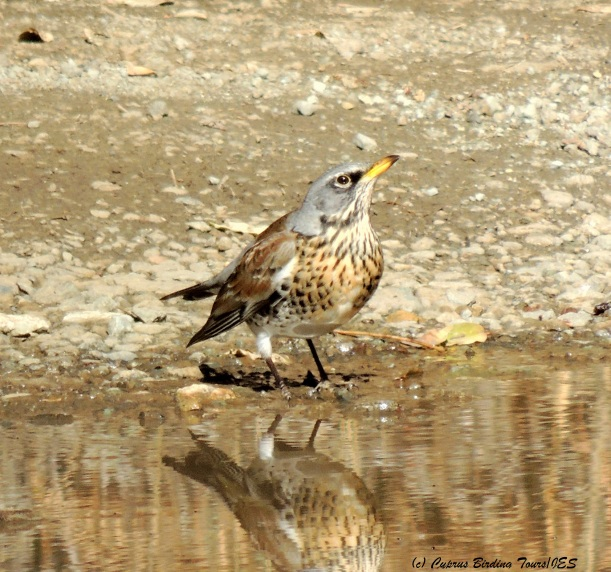 Fieldfare, Livadi tou Pashia, Troodos 10th November 2014 (c) Cyprus Birding Tours