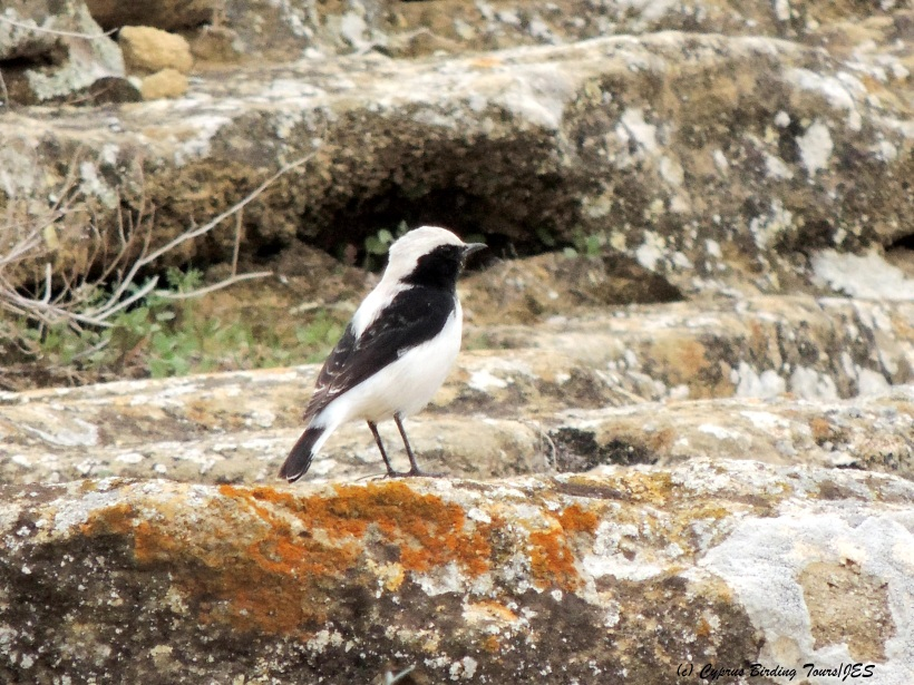 Finsch's Wheatear Agios Sozomenos 28th November 2014 (c) Cyprus Birding Tours