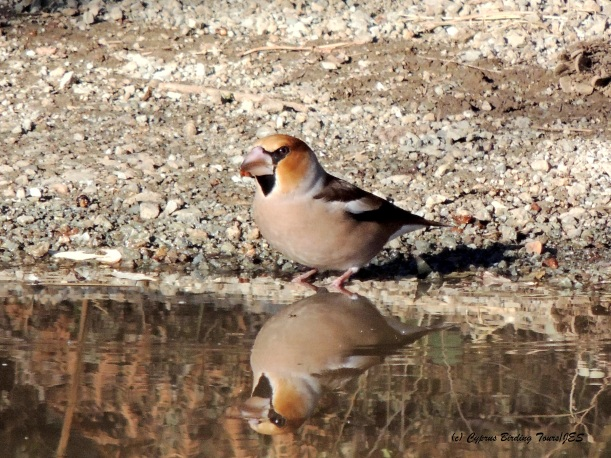 Hawfinch Livadi tou Pashia November 10th 2014 (c) Cyprus Birding Tours