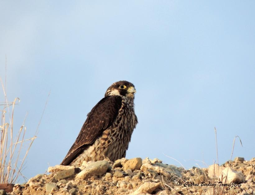 Peregrine Falcon juvenile Agios Sozomenos 14th November 2014 (c) Cyprus Birding Tours