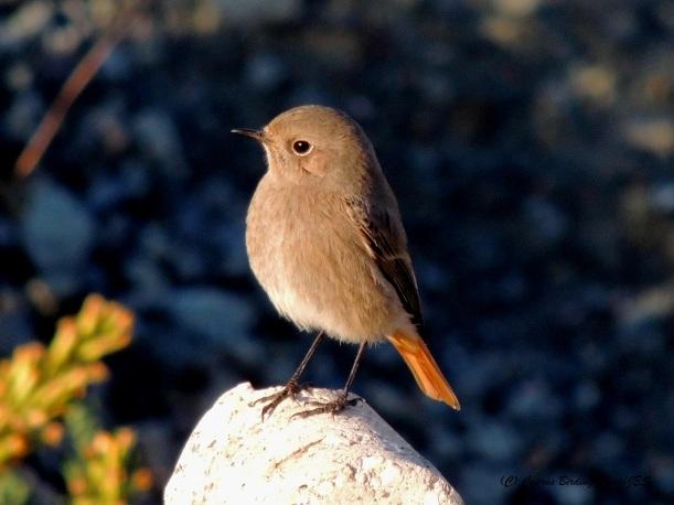 Western Black Redstart, Larnaca Sewage Works 22nd November 2014 (c) Cyprus Birding Tours
