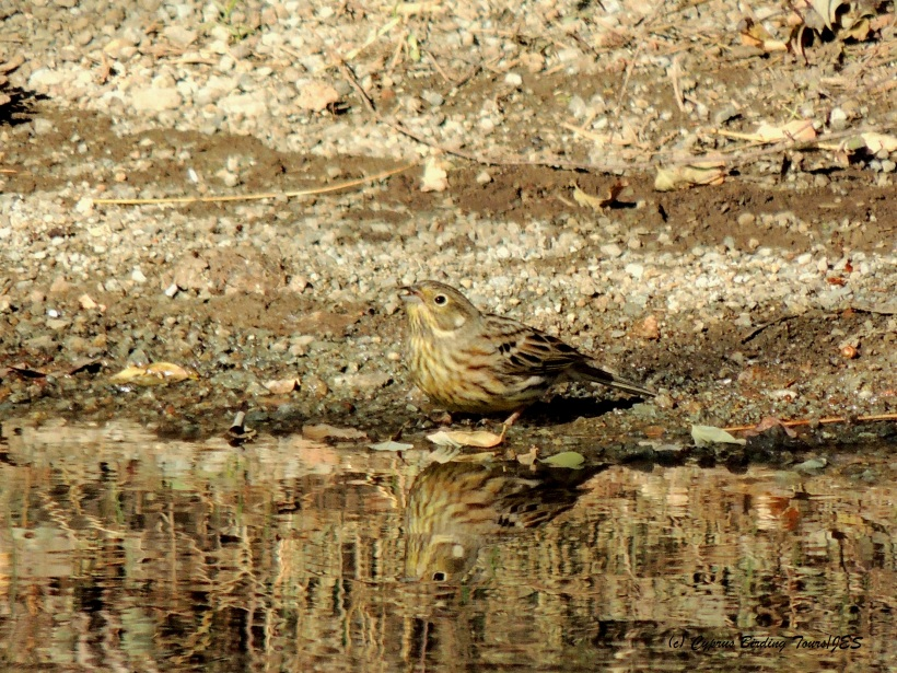 Yellowhammer Livadi tou Pashia November 10th 2014  (c) Cyprus Birding Tours