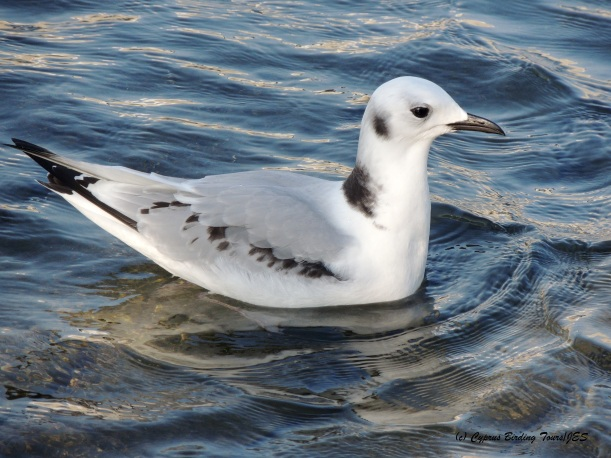 Black-legged Kittiwake Larnaca Sea Front 6th December 2014 (c) Cyprus Birding Tours