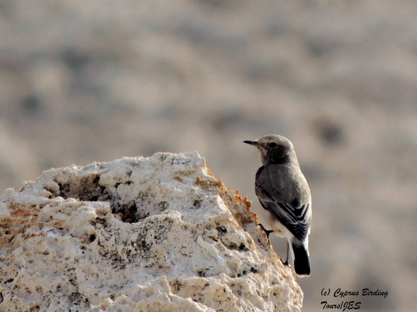 Finsch's Wheatear female Cape Greco 5th December 2014  (c) Cyprus Birding Tours