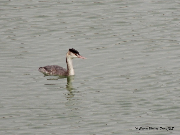 Great Crested Grebe Manglis Lake 3rd December 2014  (c) Cyprus Birding Tours