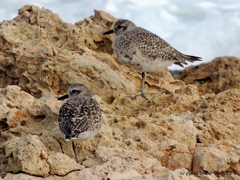 Grey Plover Agias Trias 5th December 2014  (c) Cyprus Birding Tours