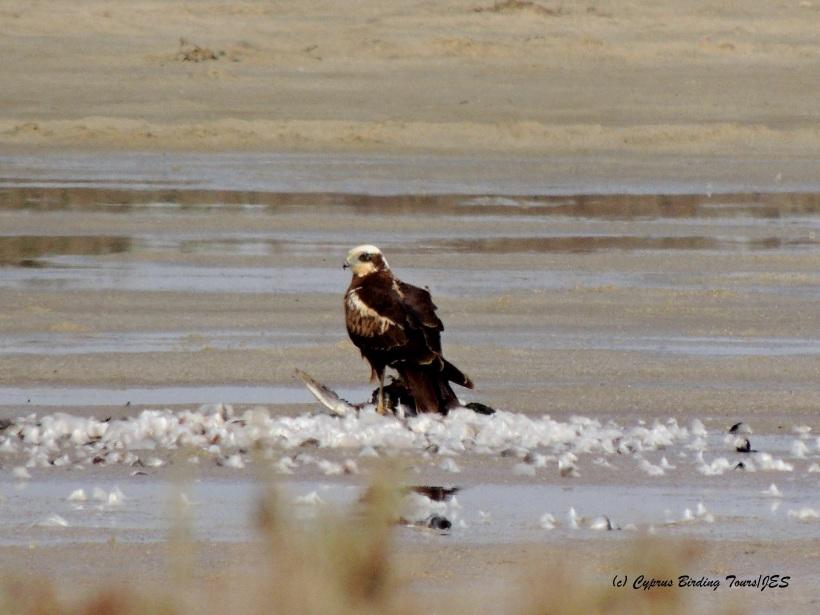 Western Marsh Harrier Meneou Pools 6th December 2014  (c) Cyprus Birding Tours