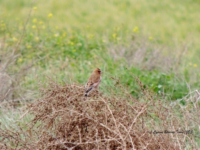 Crimson-winged Finch Mandria 14th January 2015 (c) Cyprus Birding Tours