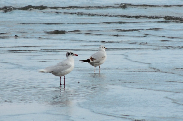 Mediterranean Gull and Black-headed Gull Oroklini Beach 4th January 2015 (c) Cyprus Birding Tours