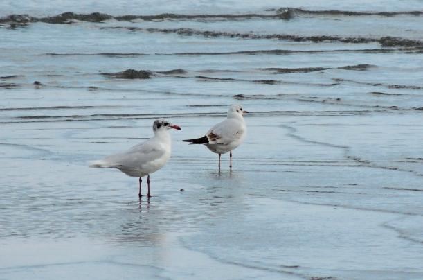Mediterranean Gull and Black-headed Gull Oroklini Beach 4th January 2015 (c) Cyprus Birding Tours