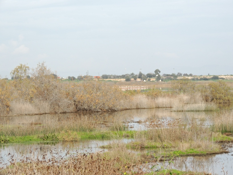Paralimni Lake 16th January 2015 (c) Cyprus Birding Tours
