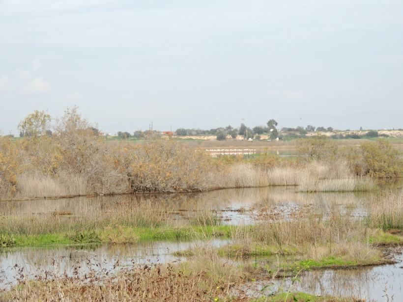 Paralimni Lake 16th January 2015 (c) Cyprus Birding Tours