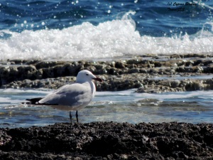 Audouin's Gull Kermia Beach February 28th 2015 (c) Cyprus Birding Tours